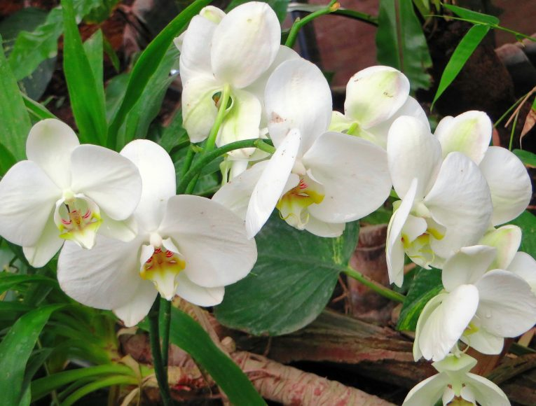 Cymbidium Orchid Outdoors